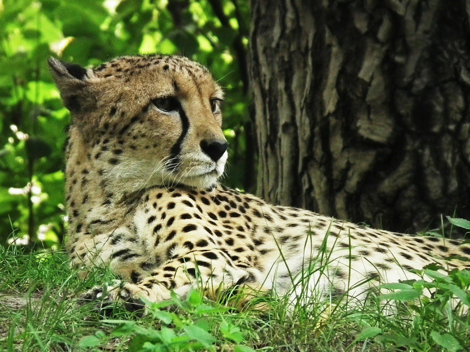 cheetah-425468_1920.jpg